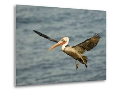 Brown Pelican in Flight, California-Tim Laman-Metal Print