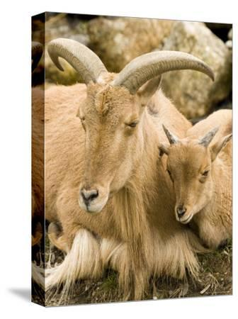 Captive Barbary Sheep, Native to North Africa-Tim Laman-Stretched Canvas Print
