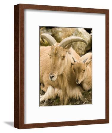Captive Barbary Sheep, Native to North Africa-Tim Laman-Framed Photographic Print