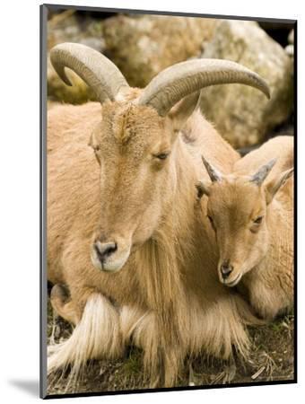Captive Barbary Sheep, Native to North Africa-Tim Laman-Mounted Photographic Print