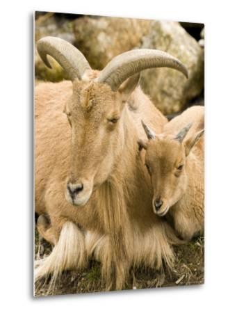 Captive Barbary Sheep, Native to North Africa-Tim Laman-Metal Print