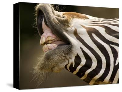 Closeup of a Grevys Zebra's Mouth-Tim Laman-Stretched Canvas Print