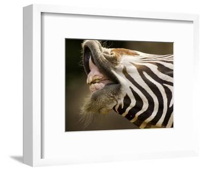 Closeup of a Grevys Zebra's Mouth-Tim Laman-Framed Photographic Print