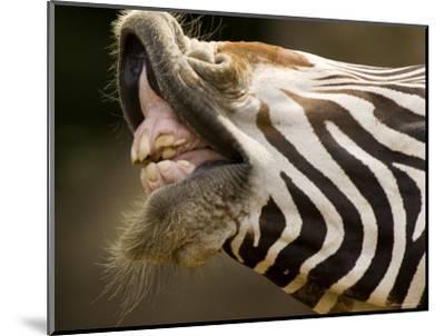 Closeup of a Grevys Zebra's Mouth-Tim Laman-Mounted Photographic Print