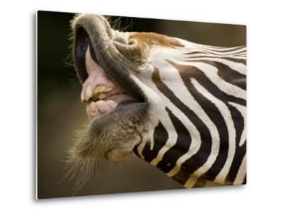 Closeup of a Grevys Zebra's Mouth-Tim Laman-Metal Print