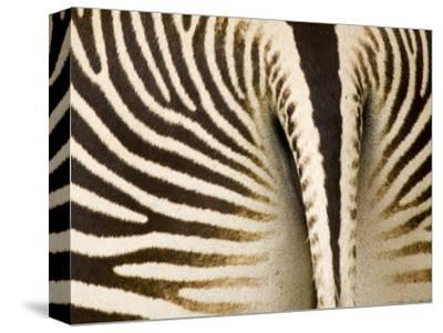 Closeup of a Grevys Zebra's Rear End-Tim Laman-Stretched Canvas Print
