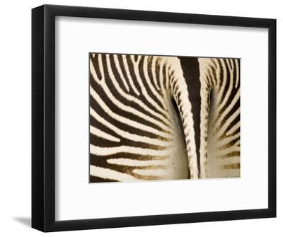 Closeup of a Grevys Zebra's Rear End-Tim Laman-Framed Photographic Print