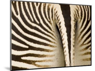 Closeup of a Grevys Zebra's Rear End-Tim Laman-Mounted Photographic Print
