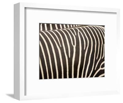 Closeup of Two Grevys Zebras' Coats-Tim Laman-Framed Photographic Print