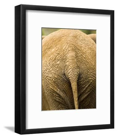 Closeup of the Rear Ened of an African Elephant-Tim Laman-Framed Photographic Print