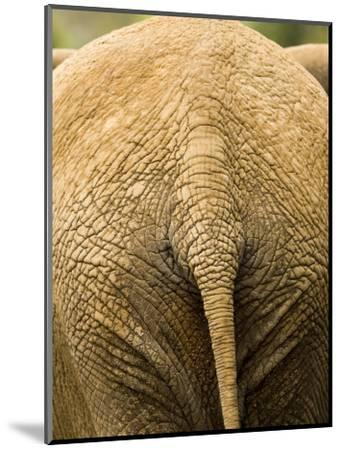 Closeup of the Rear Ened of an African Elephant-Tim Laman-Mounted Photographic Print