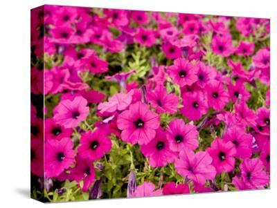 Closeup of Bright Pink Garden Flowers-Tim Laman-Stretched Canvas Print