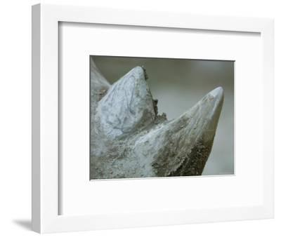 Close-Up View of a White Rhino's Muddy Horns, Henry Doorly Zoo, Nebraska-Joel Sartore-Framed Photographic Print