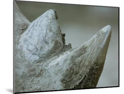 Close-Up View of a White Rhino's Muddy Horns, Henry Doorly Zoo, Nebraska-Joel Sartore-Mounted Photographic Print
