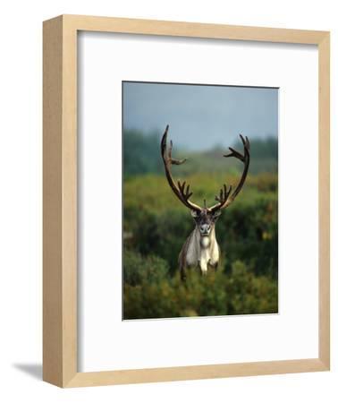Bull Caribou in Velvet Antlers, Alaska-Michael S^ Quinton-Framed Photographic Print