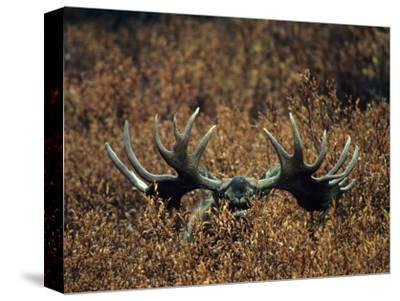Bull Moose Lifts its Head to Smell, Alaska-Michael S^ Quinton-Stretched Canvas Print