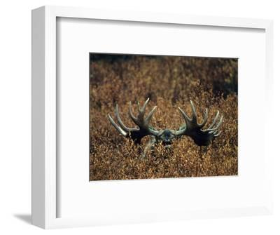 Bull Moose Lifts its Head to Smell, Alaska-Michael S^ Quinton-Framed Photographic Print