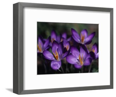 Close View of Purple African Violets, Washington, D.C.-Stacy Gold-Framed Photographic Print