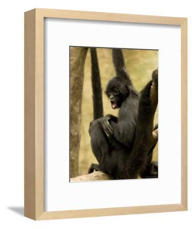Black Spider Monkeys at the Omaha Zoo, Nebraska-Joel Sartore-Framed Photographic Print
