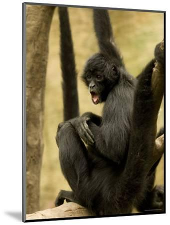 Black Spider Monkeys at the Omaha Zoo, Nebraska-Joel Sartore-Mounted Photographic Print