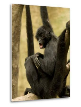 Black Spider Monkeys at the Omaha Zoo, Nebraska-Joel Sartore-Metal Print