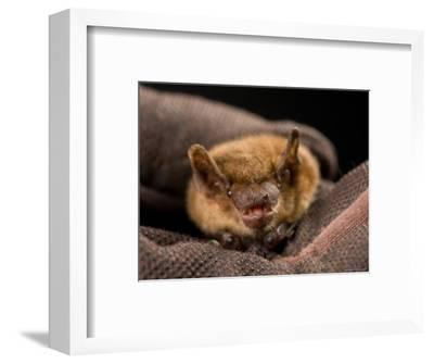 Big Brown Bat at the Sunset Zoo, Kansas-Joel Sartore-Framed Photographic Print