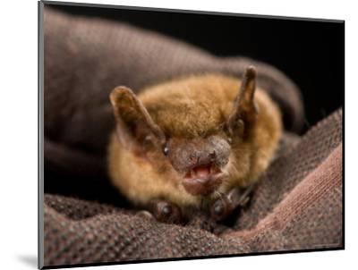Big Brown Bat at the Sunset Zoo, Kansas-Joel Sartore-Mounted Photographic Print