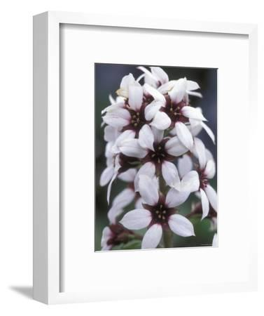 Brook Saxifrage in the Brooks Range, Alaska-Rich Reid-Framed Photographic Print