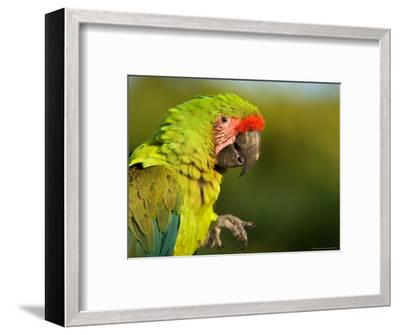 Buffon's or Great Green Macaw, at the Zoo-Joel Sartore-Framed Photographic Print