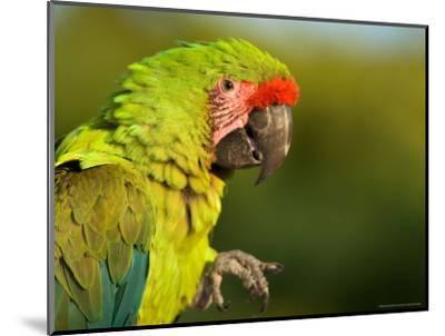 Buffon's or Great Green Macaw, at the Zoo-Joel Sartore-Mounted Photographic Print
