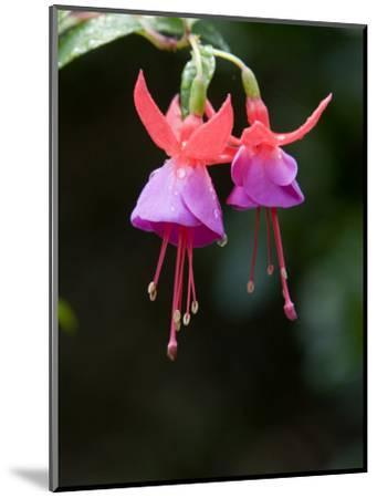 Closeup of a Colorful Flower in Butchart Gardens-Tim Laman-Mounted Photographic Print