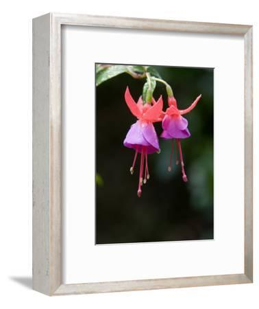 Closeup of a Colorful Flower in Butchart Gardens-Tim Laman-Framed Photographic Print