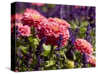 Closeup of Colorful Flowers in Butchart Gardens-Tim Laman-Stretched Canvas Print