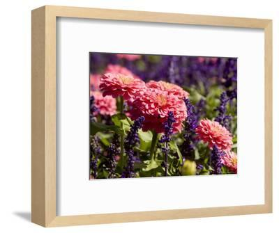 Closeup of Colorful Flowers in Butchart Gardens-Tim Laman-Framed Photographic Print