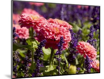 Closeup of Colorful Flowers in Butchart Gardens-Tim Laman-Mounted Photographic Print