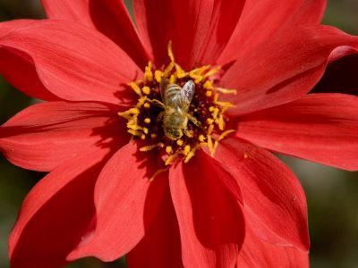 Closeup of a Honey Bee Visiting a Red Flower-Tim Laman-Framed Photographic Print