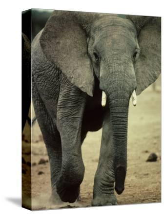 Closeup of a Juvenile African Elephant-Kenneth Garrett-Stretched Canvas Print