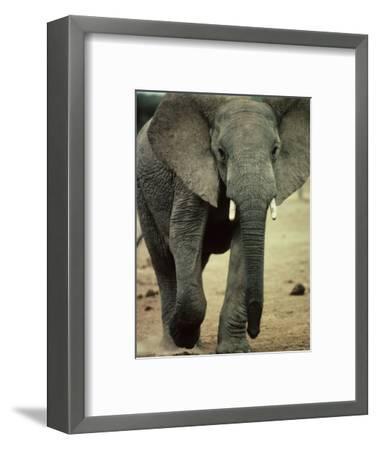 Closeup of a Juvenile African Elephant-Kenneth Garrett-Framed Photographic Print