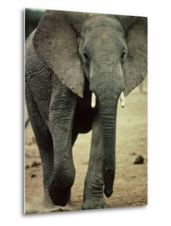 Closeup of a Juvenile African Elephant-Kenneth Garrett-Metal Print