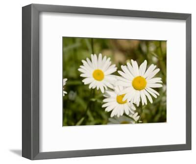 Closeup of Daisies, Massachusetts-Tim Laman-Framed Photographic Print