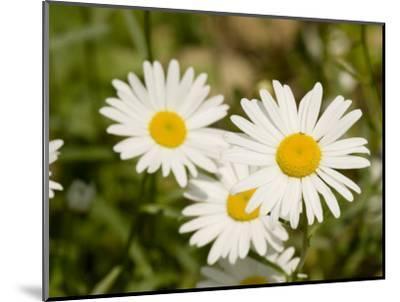 Closeup of Daisies, Massachusetts-Tim Laman-Mounted Photographic Print