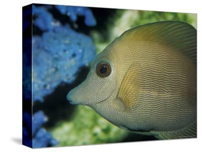 Close-Up of Scopus Brown Tang Fish Head Eye Fin Profile, Coral Behind, Australia-Jason Edwards-Stretched Canvas Print