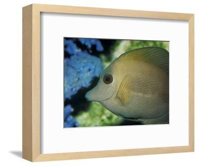 Close-Up of Scopus Brown Tang Fish Head Eye Fin Profile, Coral Behind, Australia-Jason Edwards-Framed Photographic Print