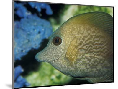 Close-Up of Scopus Brown Tang Fish Head Eye Fin Profile, Coral Behind, Australia-Jason Edwards-Mounted Photographic Print