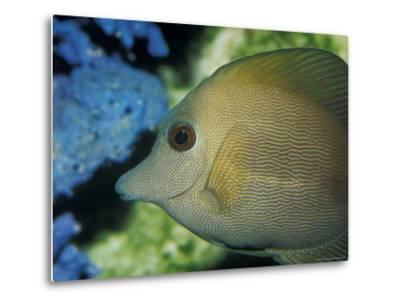 Close-Up of Scopus Brown Tang Fish Head Eye Fin Profile, Coral Behind, Australia-Jason Edwards-Metal Print
