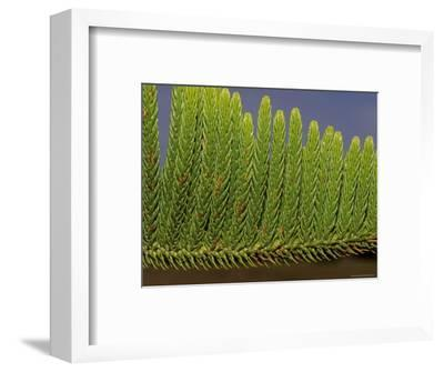 Close-Up Detail of the Bright Green Needles of a Pine Tree Leaf, Australia-Jason Edwards-Framed Photographic Print
