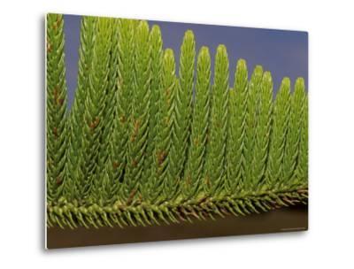 Close-Up Detail of the Bright Green Needles of a Pine Tree Leaf, Australia-Jason Edwards-Metal Print