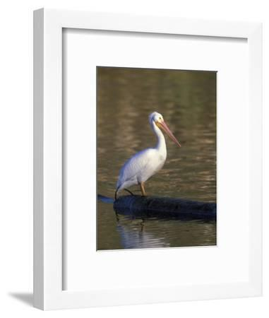 American White Pelican Perched on a Log-Rich Reid-Framed Photographic Print