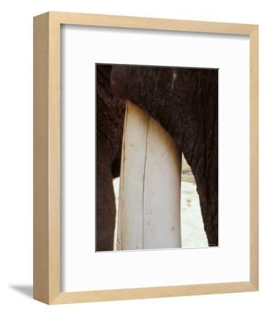 Clos-Up of an Asian Elephant's Massive Ivory Tusk and Tough Hide-Jason Edwards-Framed Photographic Print