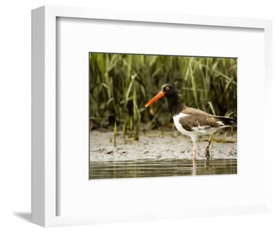 American Oystercatcher Foraging for Food, Tampa Bay, Florida-Tim Laman-Framed Photographic Print